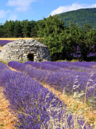 Borie and lavender field in Provence